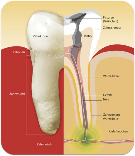 Wurzelbehandlung (Endodontie): Aufbau eines Zahnes (© proDente e.V.)Dr. Udo Goedecke. Zahnarzt in Osnabrück