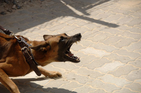 in der Leine hängen, Zähne fletschen, bellen.Bildquelle Pixabay. Herzlichen Dank!