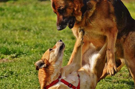spielende Hunde. Bild von Alexas Fotos auf Pixabay