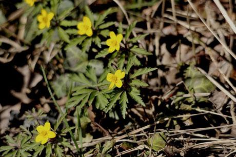 _DSC9582_Anémone fausse-renoncule-Anemone ranunculoides-Ranunculaceae