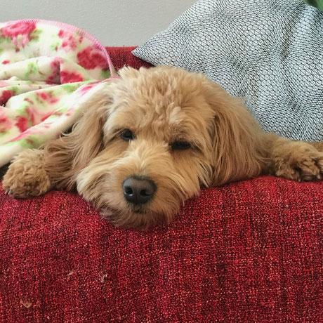 Goldendoodle Maylo ist unser besten Freund