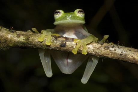 Glasfrösche – wie die hier abgebildete Art Hyalinobatrachium bergeri – leben im Regenwald der Anden und sind sehr anfällig auf Trockenheit. Foto: Ignacio de La Riva