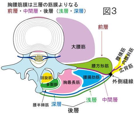 胸腰筋膜 関連する筋肉