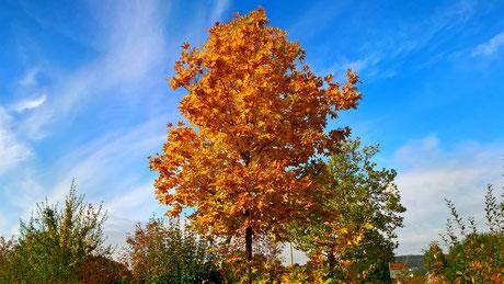 Herbst-AHORN  [War sogar im WDR zu sehen]