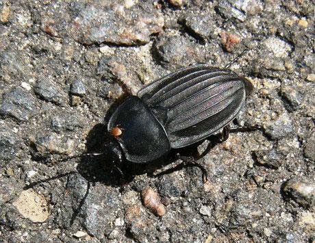 Schwarzer Aaskäfer