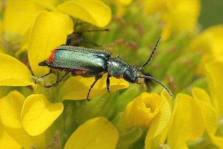 Zipfelkäfer (Malachiinae)