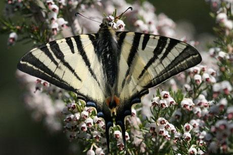 Segelfalter (Iphiclides podalirius)