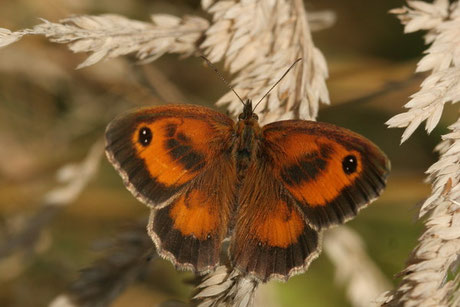 Rotbraunes Ochsenauge Pyronia tithonus