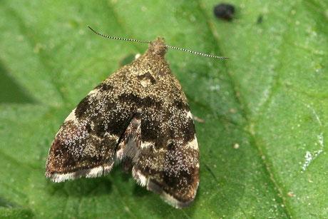 Spreizflügelfalter (Choreutidae)