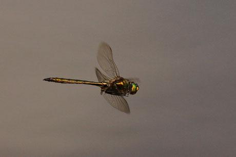 Gefleckte Smaragdlibelle (Somatochlora fla.)