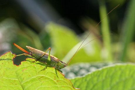 Langflügelige Schwertschrecke  (C. fuscus)