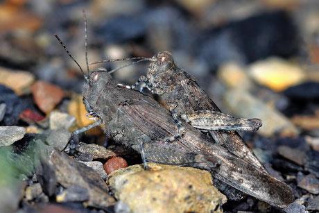 Blauflügelige Sandschrecken  Sphingonotus caerulans