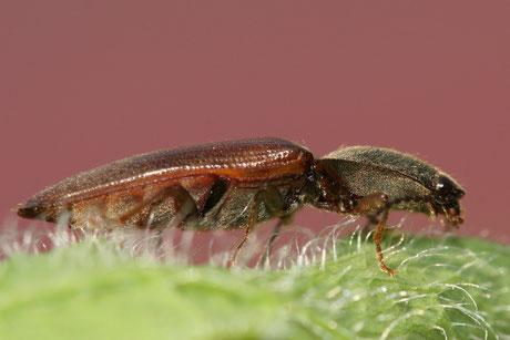 Gem. Schnellkäfer (Athous haemorrhoidalis)