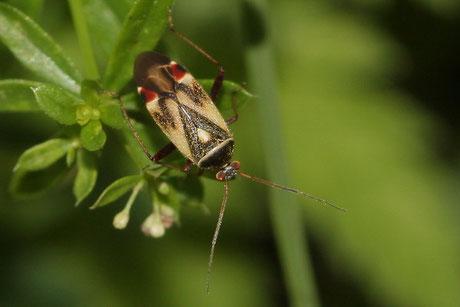 Polymerus unifasciataus