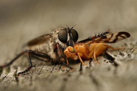 Gemeine Raubfliege (Tolmerus atricapillus)