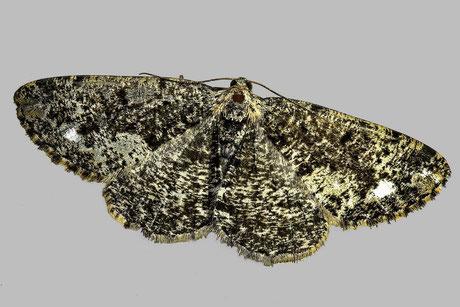 Weißfleck-Rindenspanner (P. similaria)
