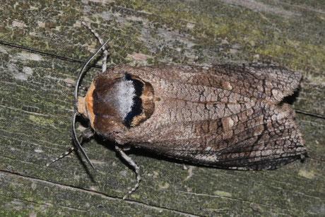 Weidenbohrer (Cossus cossus)