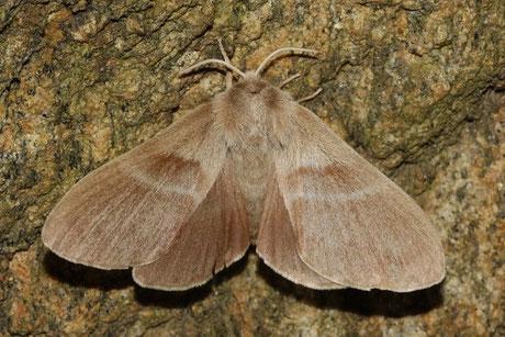Glucken (Lasiocampidae)