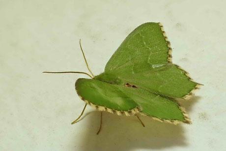 Spanner  (Geometridae)