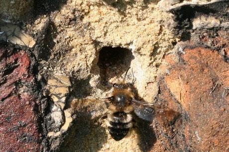 Gemeine Trauerbiene  (Melecta albifrons)