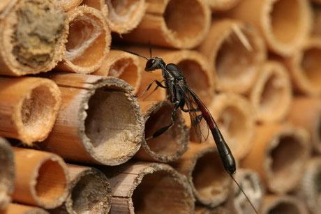 Schmalbauchwespen (Gasteruptiidae)