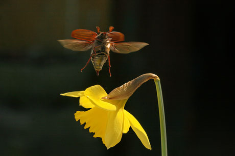 Blatthornkäfer (Scarabaeidae)