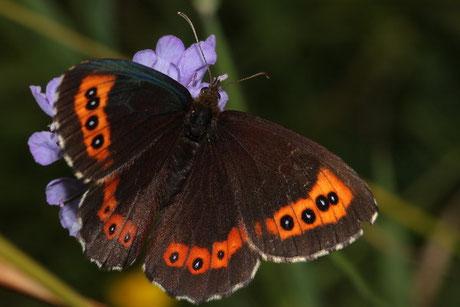 Graubindiger Mohrenfalter Erebia aethiops