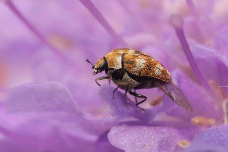Speckkäfer (Dermestidae)