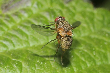 Echten Fliegen (Muscidae)
