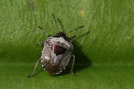 Dunkler Dickwanst  (Eysarcoris venustissimus)