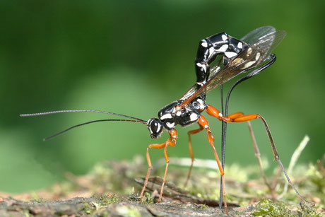 Schlupfwespen Ichneumonidae/Brackwespen Braconidae