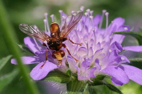 Blasenkopffliegen (Conopidae)