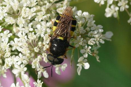Waffenfliegen (Stratiomyidae)