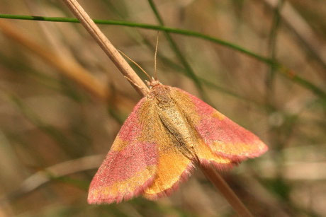 Knöterich-Purpurspanner Lythria purpuraria