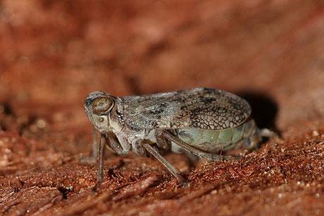 Echte Käferzikade (Issus coleoptratus)
