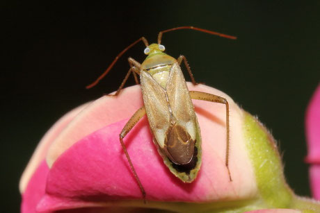 Grüne Distelwanze (Calocoris affinis)