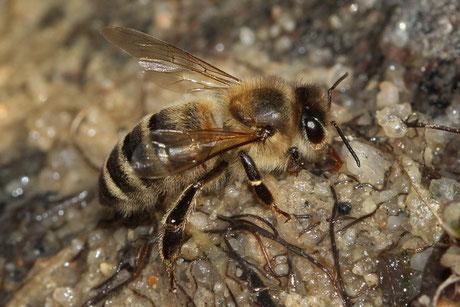 Honigbiene (Apis melifera)