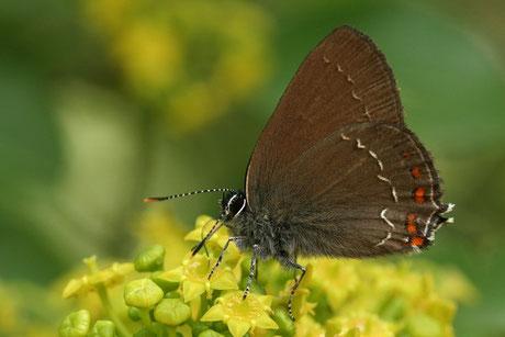Brauner Eichen-Zipfelfalter (Satyrium ilicis)