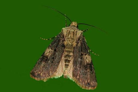 Schmalflügelige Erdeule (Agrotis puta)
