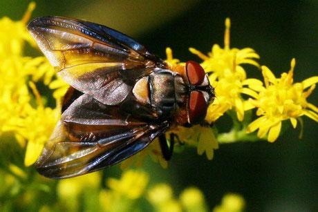 Wanzenfliege (Phasia hemiptera)