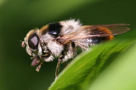 Bunte Erzschwebfliege (Cheilosia illustrata)