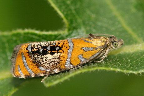 Wickler (Tortricidae)