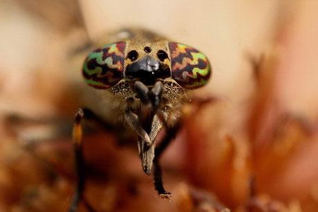 Regenbremse (Haematopota pluvialis)