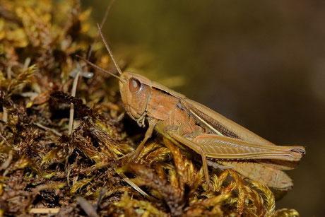 Weißrand-Grashüpfer Ch. albomarginatus