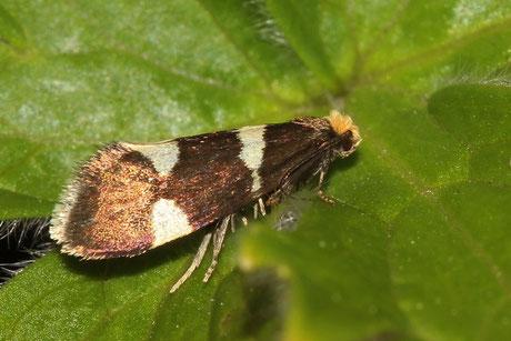 Miniersackmotte (Incurvariidae)