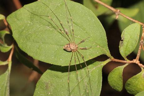 Weberknechte (Opiliones)