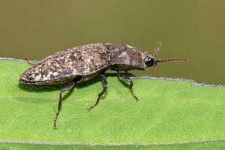 Schnellkäfer (Elateridae)