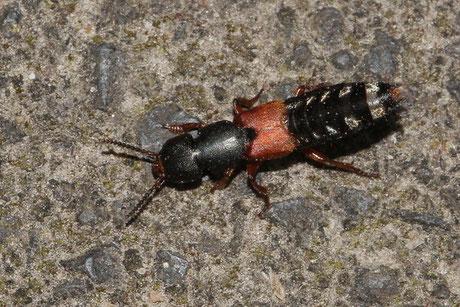 Kurzflügler (Staphylinidae).
