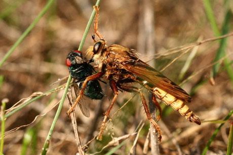 Hornissen-Raubfliege Asilus crabroniformis