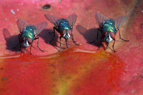 Schmeißfliegen (Calliphoridae)
